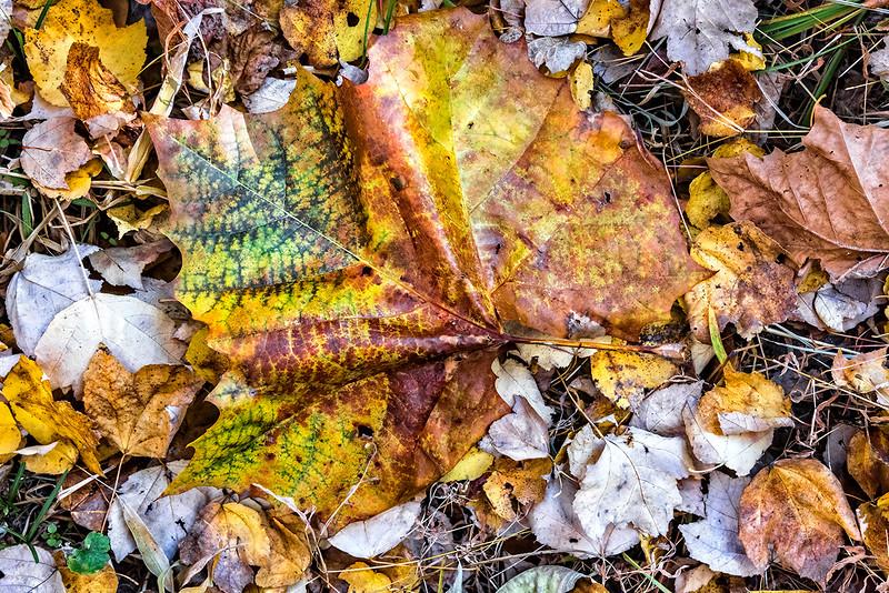 Large Multi=colored Leaf