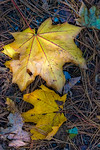 Two Bright Yellow Leaves