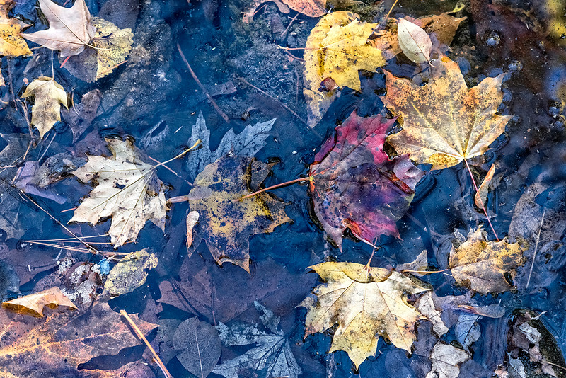 Floating Leaves, Submerged Leaves