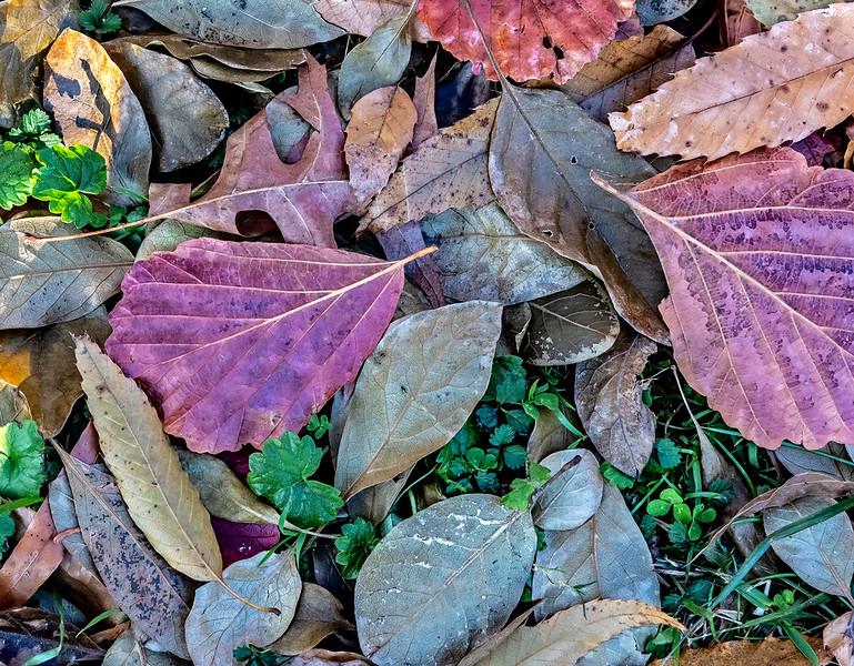 Red Purple, Light Blue Leaves