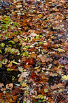 Merion Creek, Floating Layered Leaves