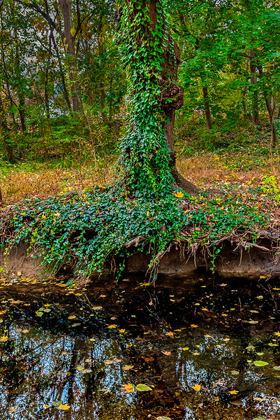 Ivy Covered Tree, Creek Bank
