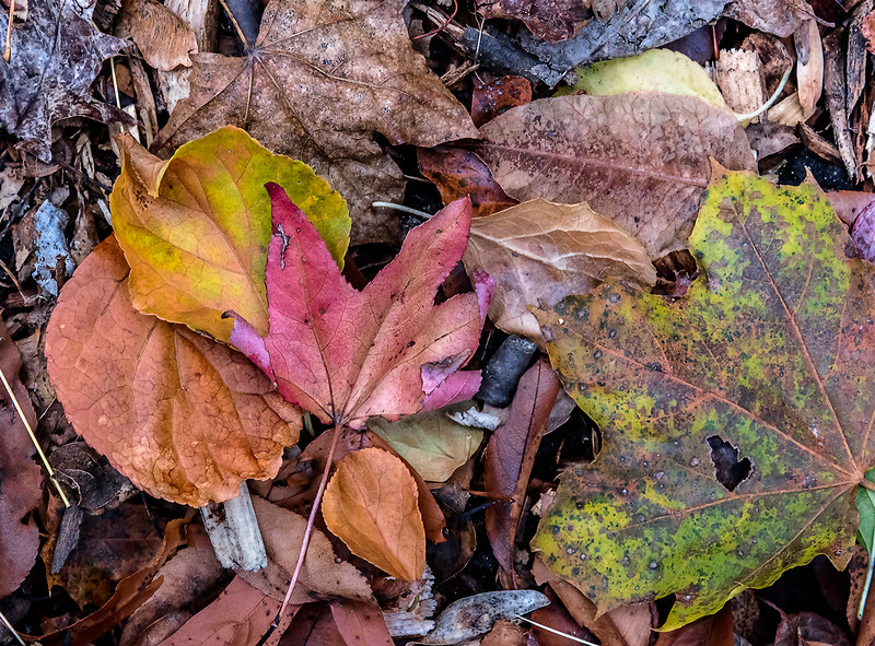 Red Leaf, Layers of Leaves (2017)