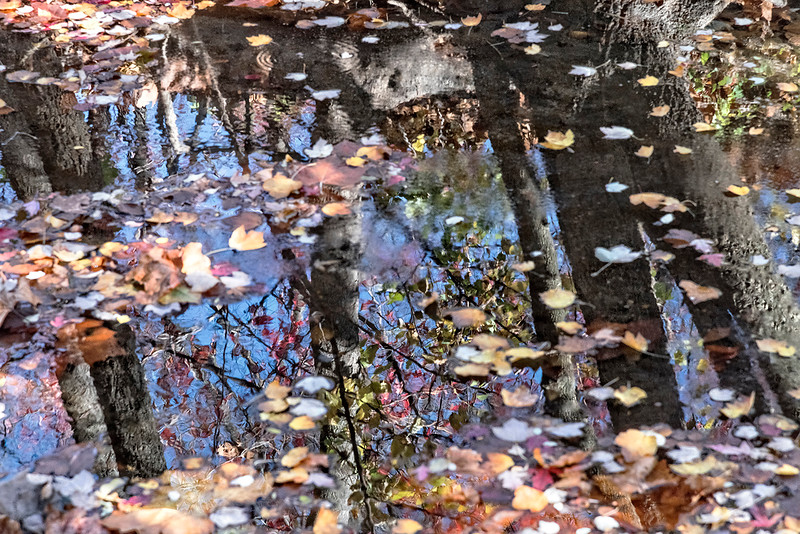 Tree Reflections, Floating Leaves, Creek
