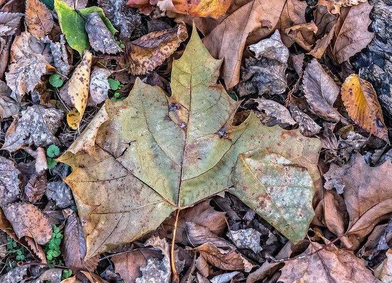 Brownish Green Large Leaf, Smaller Leaves