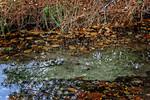 Leaves, Tree Reflection, Creek Bank