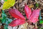 Four Red, One Yellow, Leaves