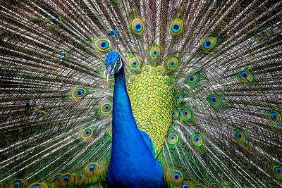 Peacock / Paon