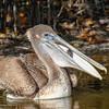 Brown Pelican with Fish, Merritt Island NWR