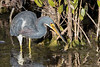 Tricolored Heron with large shrimp