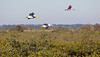 White Pelicans and Roseate Spoonbill in Flight