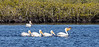 White Pelicans - Leader scoops up very large fish for Lunch!