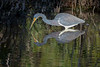 Tricolored Heron Hunting for Lunch