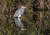 Tricolored Heron Mirror Reflection