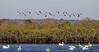 American Avocets in Flight
