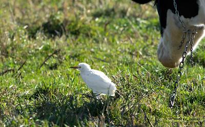 Héron Garde-Boeuf, chemin des petites terres Yamachiche  2014-11-02