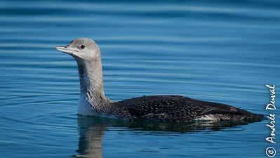Plongeon catmarin plumage d'hiver, red throated loon