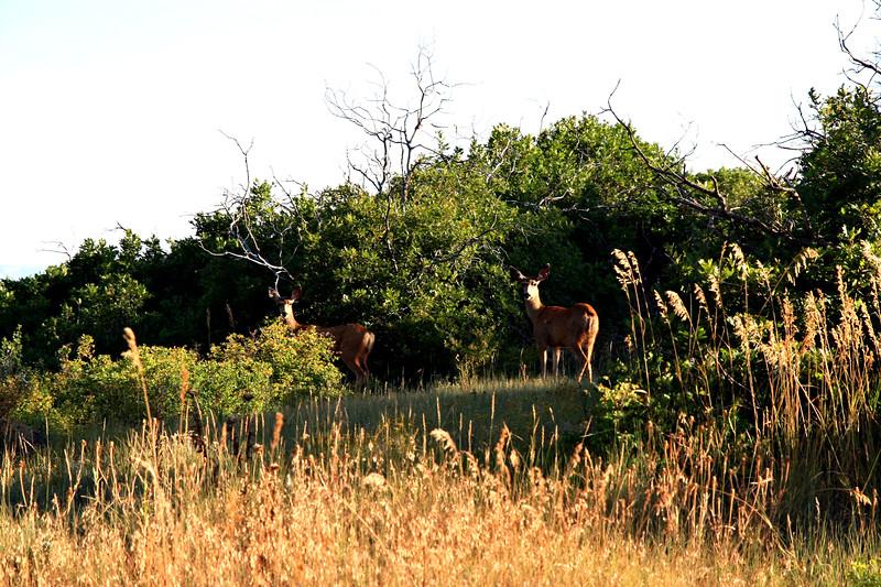 Deer-003