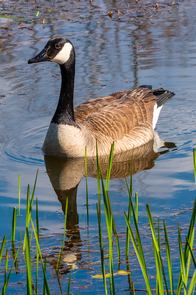Reflections of a Goose