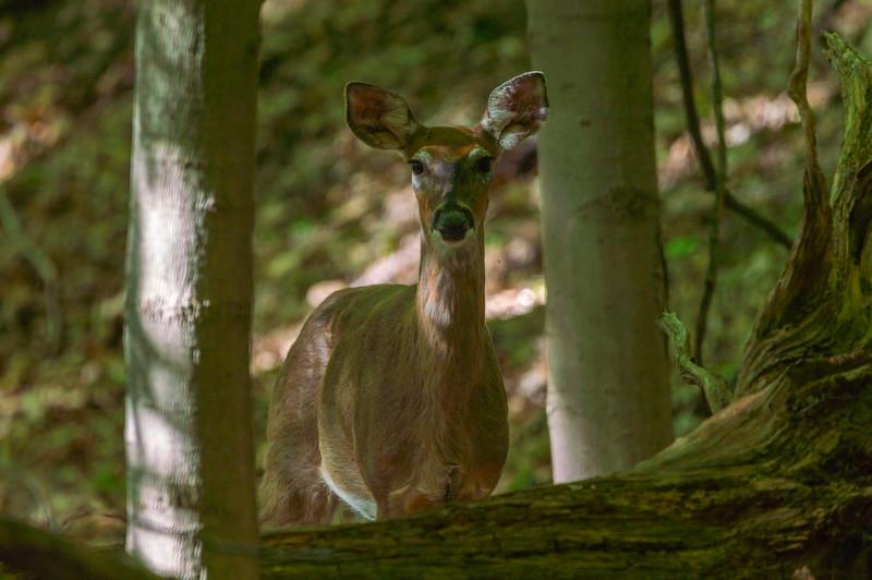 Doe...A Deer!