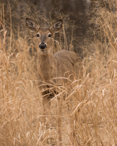 Doe in the High Grass