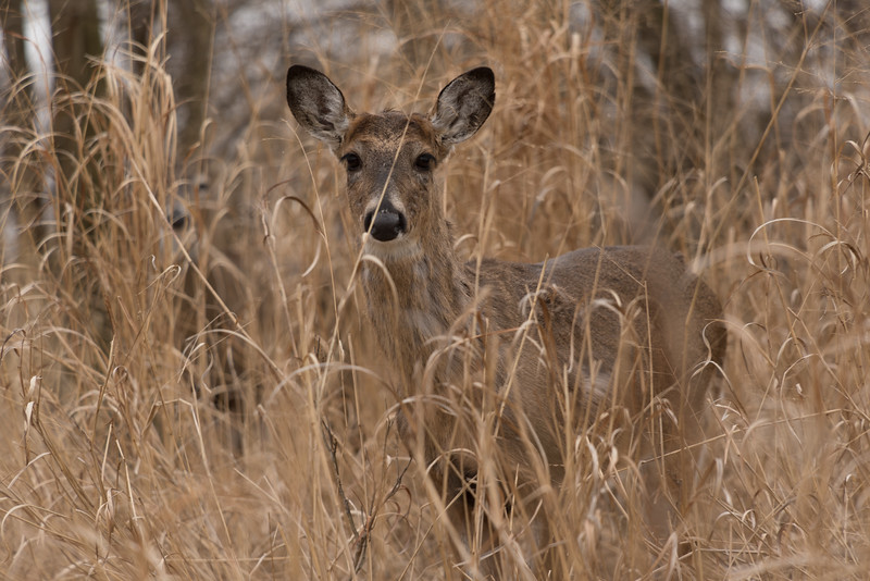 Button Buck in the High Grass