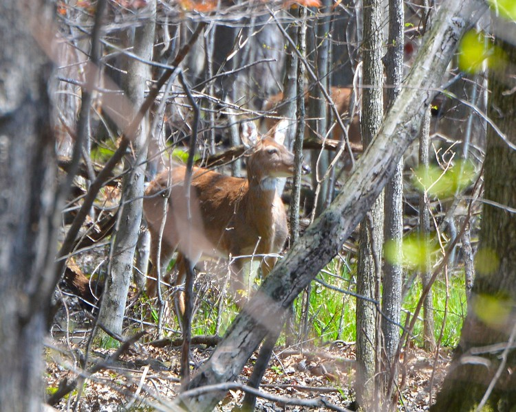 Doe in the Woods
