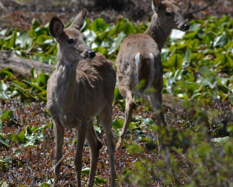 Deer Duo