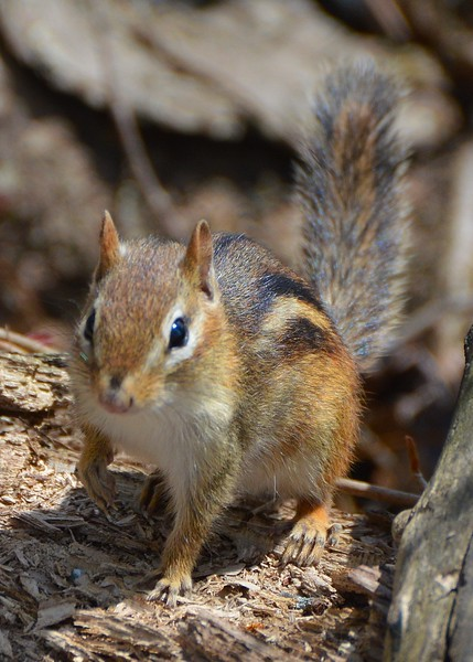 Chipmunk Climb