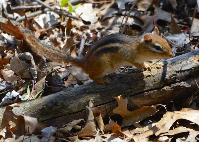 Chipmunk Curiosity