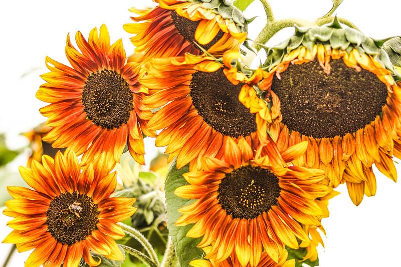 #7 Sunflower Winkel Park Chaska, MN