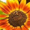 Sunflower Winkel Park Chaska, MN
