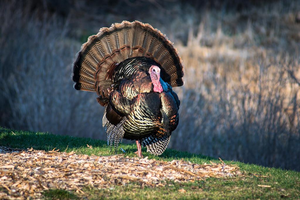 Turkey, Minnesota Landscape Arboretum