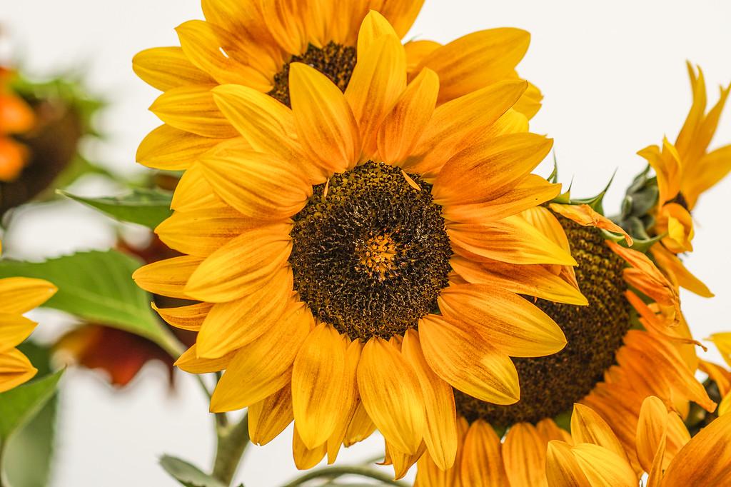 #1 Sunflower Winkel Park Chaska, MN