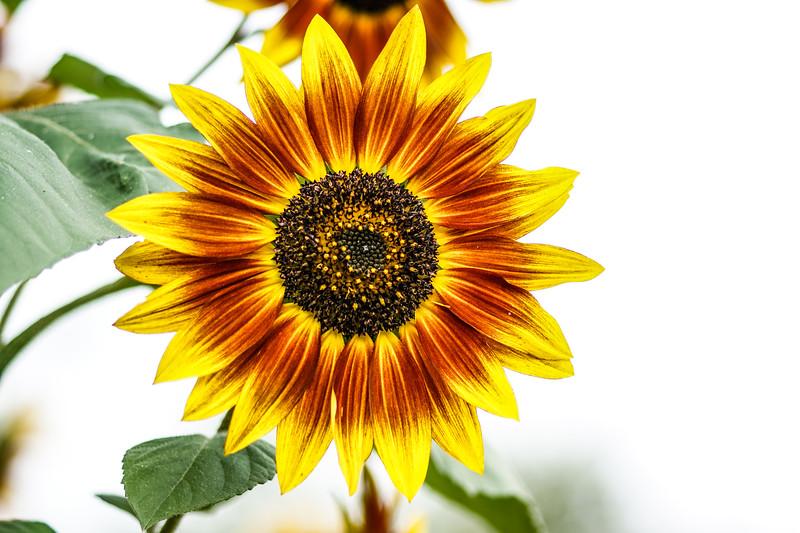 #6 Sunflower Winkel Park Chaska, MN