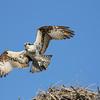 Osprey leaving nest