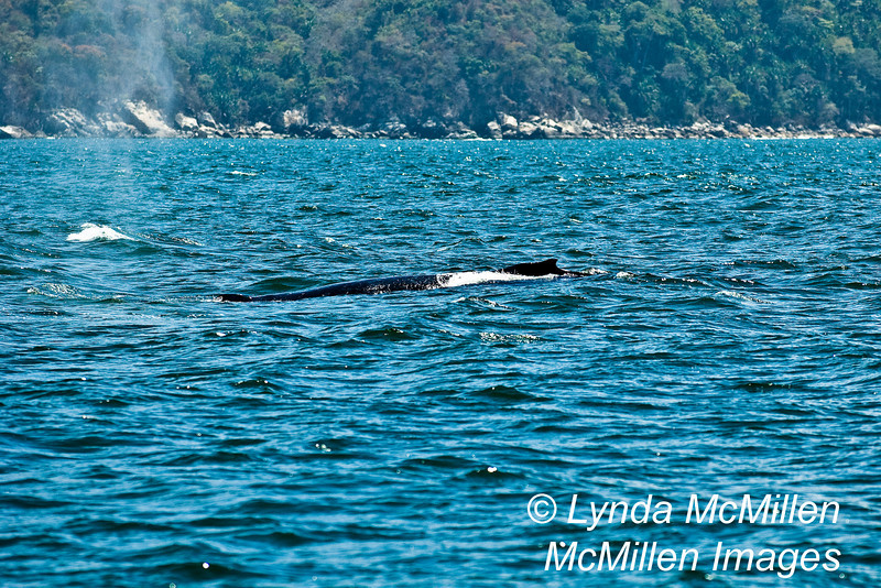 Humpback whale exhales...