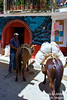 A Muleteer using beasts of burden to carry merchandise to his home in the Yelapa hills.