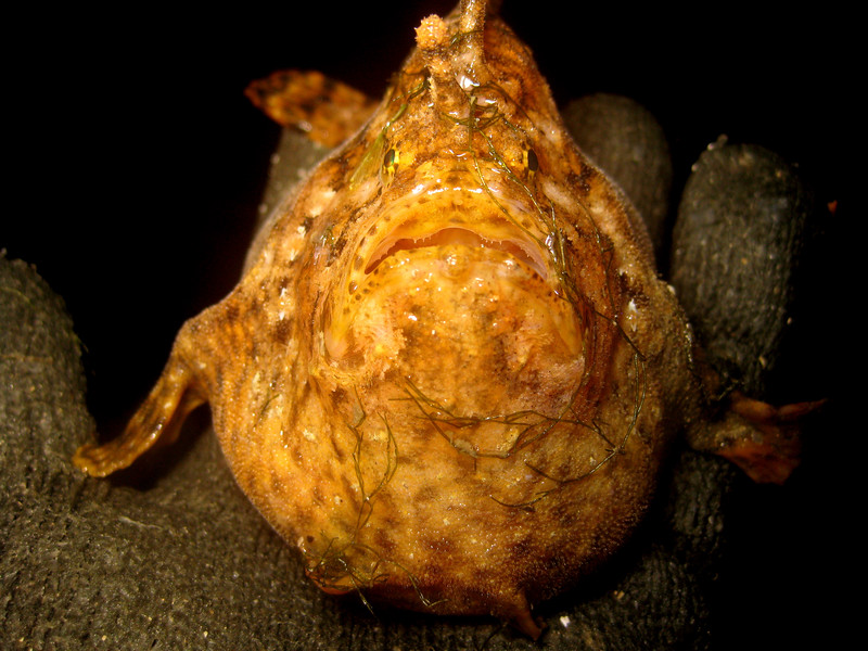 A frogfish, one of the less common trawler bycatch species