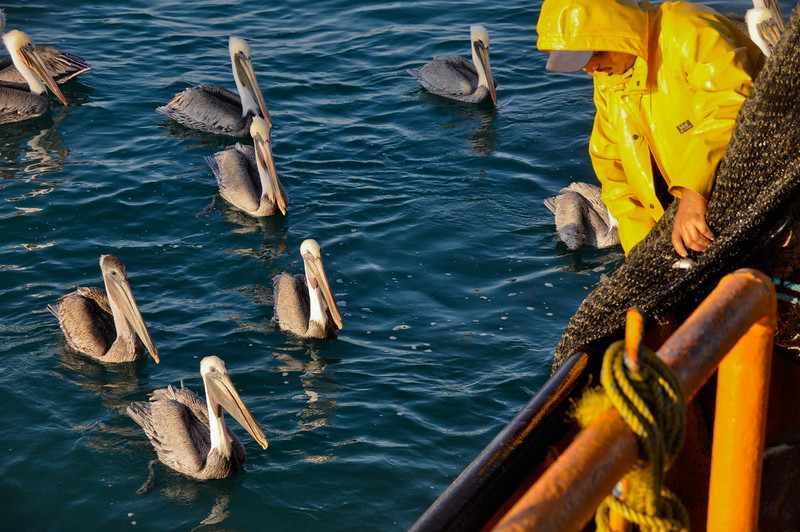 Brown pelicans await scraps as the nets are cleaned over the side