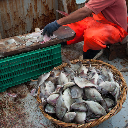 A large number of bycatch juvenile triggerfish being filleted for juvenile consumption