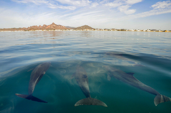 Dolphins, which spent the morning following shrimp trawlers feeding on bycatch, heading towards to the town of Kino Nuevo