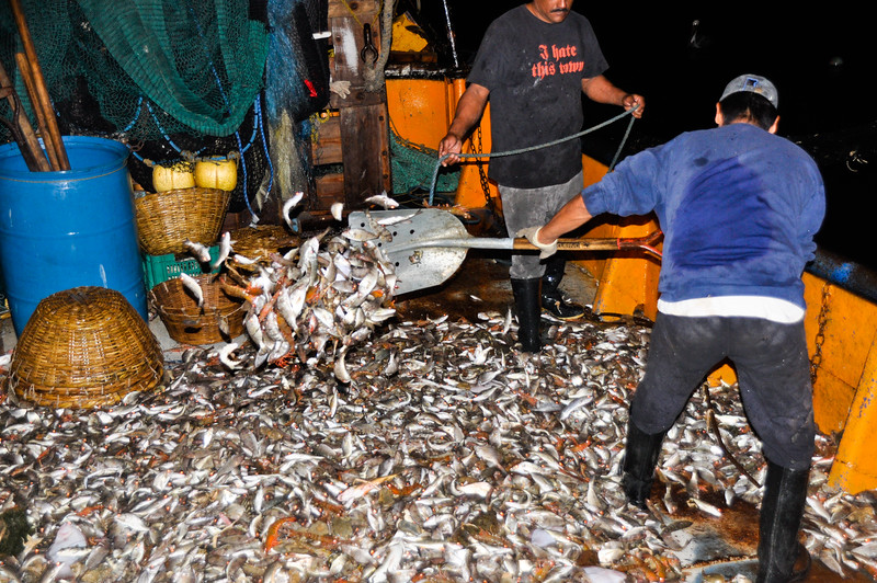 Shoveling the catch into a pile for sorting.  It is clear that the catch is mostly juvenile fish, not the targeted shrimp species.