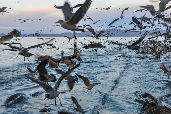 Bird frenzy following the trawler