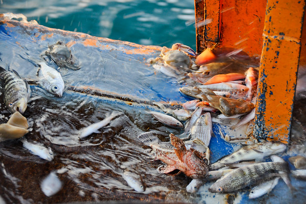 Juvenile bycatch species being washed overboard through the scuppers