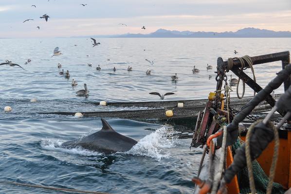 Bottlenose dolphins follow the trawler feeding on bycatch