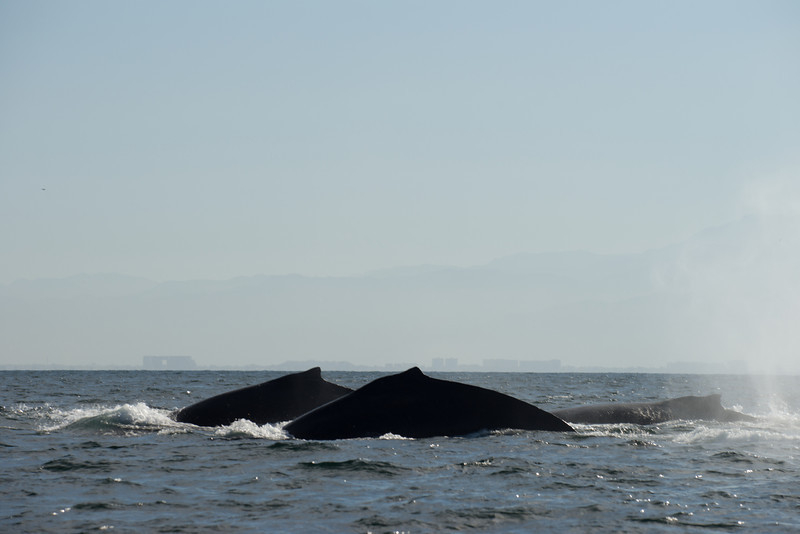 First Siting of  Humpback Whales on Our Photo Safari