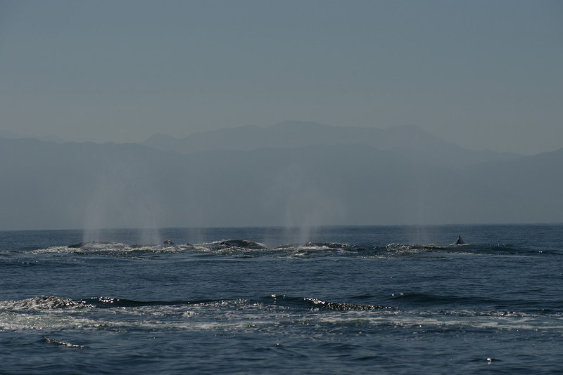 Mating Group of Male Humpback Whales in Pursuit of Females
