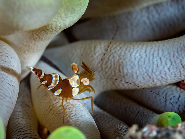 Sexy Shrimp