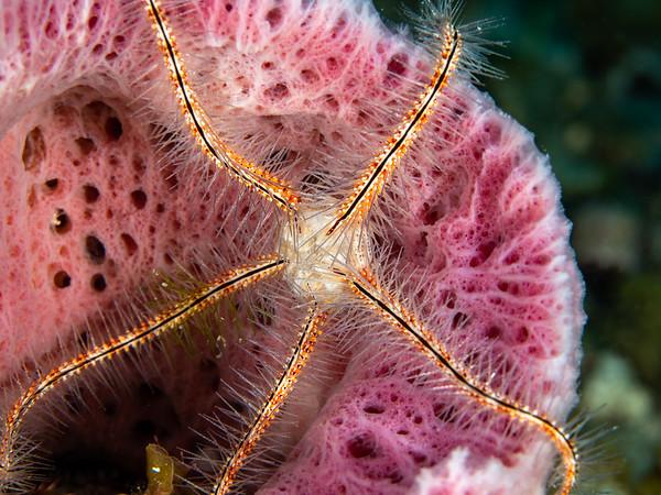 Brittle Star in Sponge